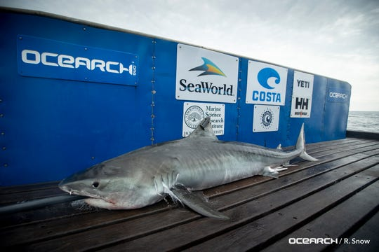 Tiger shark Lando, who was named for the residents of Orlando, was tagged and released by OCEARCH on Friday.