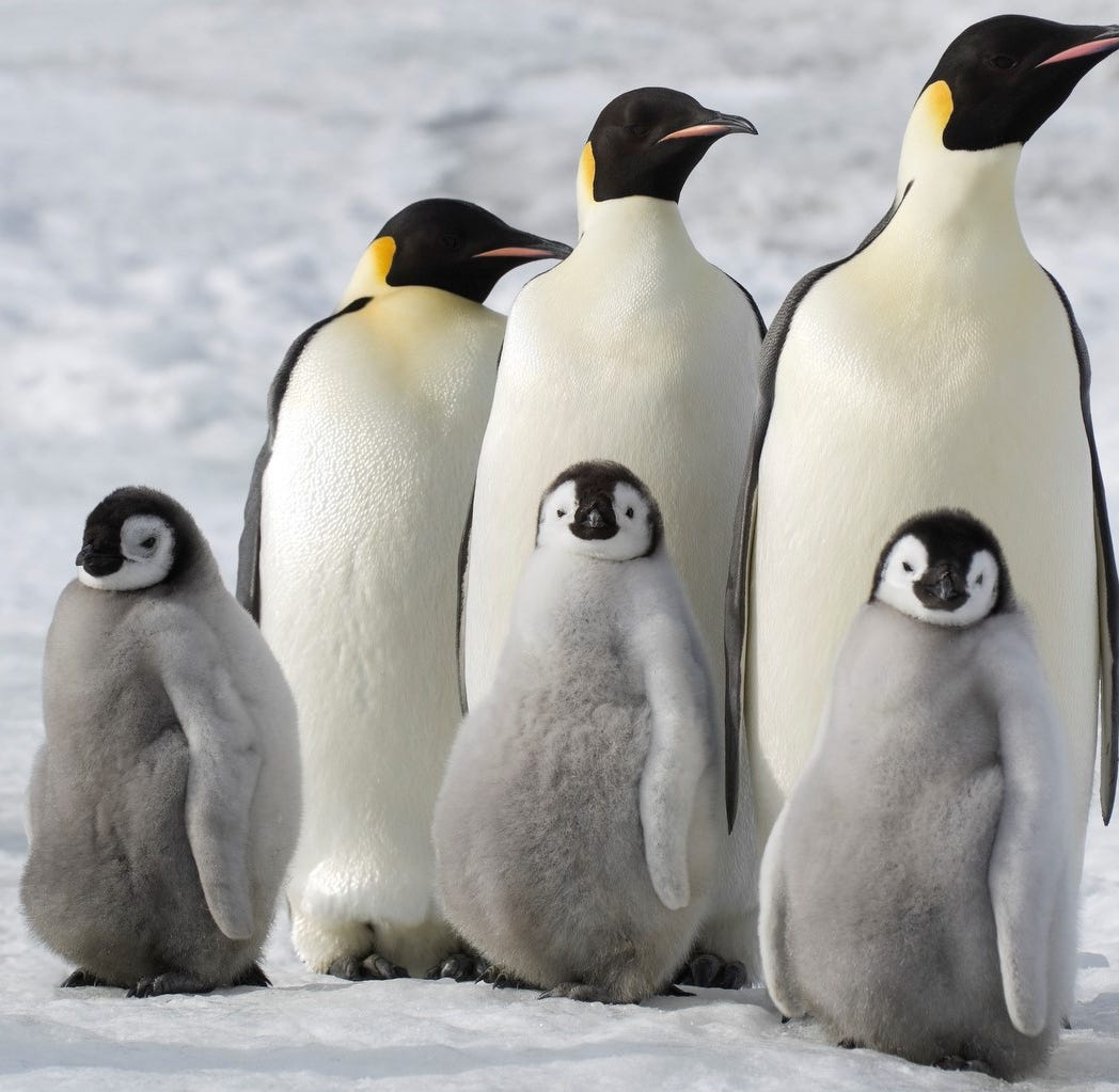 See 'March of the Penguins 2' for free at Detroit's Beacon Park on Saturday