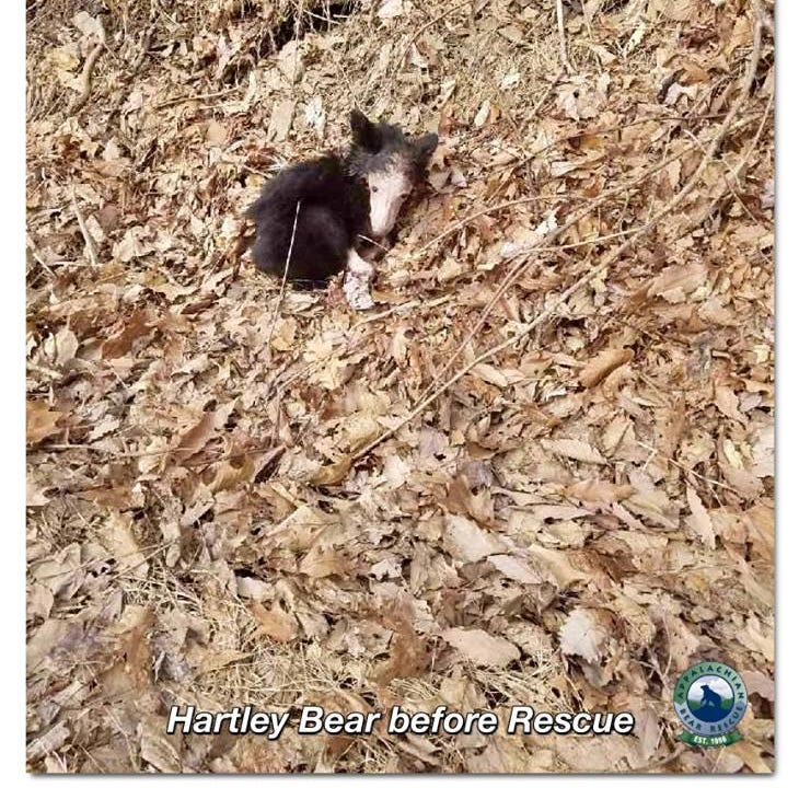 Hartley bear was rescued from a Kentucky mountain...