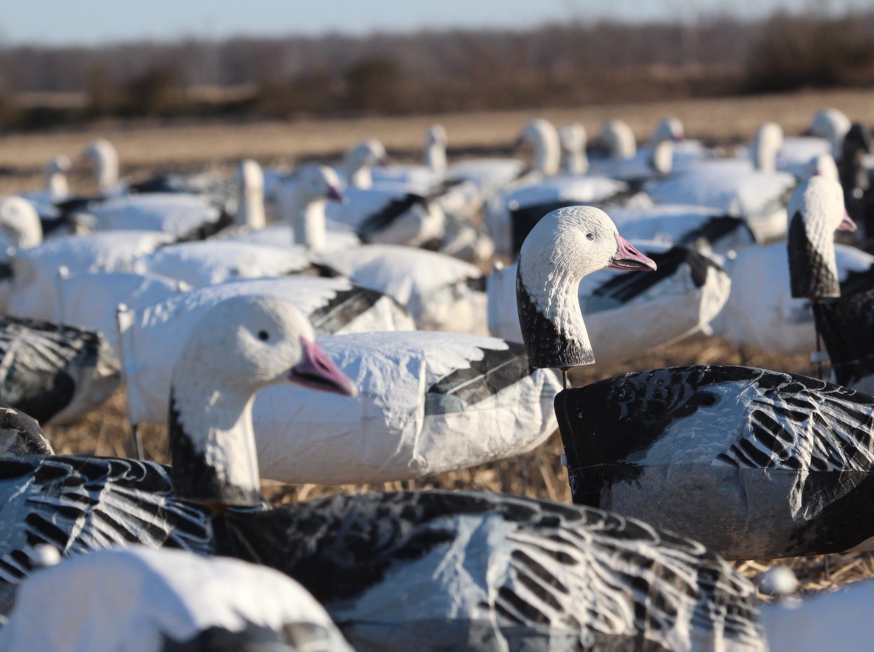The group of Wisconsinites hunted in layout blinds set in a field of 2,200 decoys.