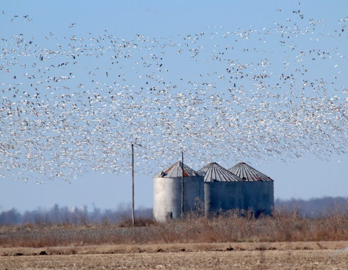 A flock of snow geese and Ross's geese, collectively called light geese, fly over an agricultural field in northeastern Arkansas. The birds winter in the southern U.S. and breed in the Arctic region of Canada.