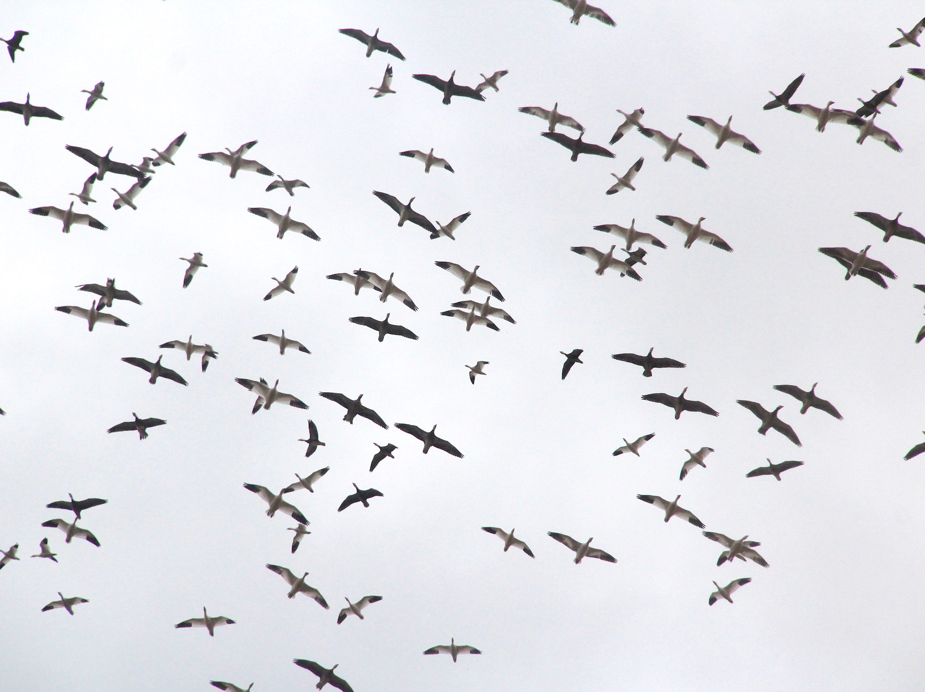 "Snow geese circle over a spread of decoys. The population of the birds has increased dramatically over the last four decades and has resulted in ecological damage to their Arctic breeding grounds. As a result, many states hold special hunts as part of a ""conservation order"" in an effort to reduce the number of the birds and help the Arctic ecosystem heal."