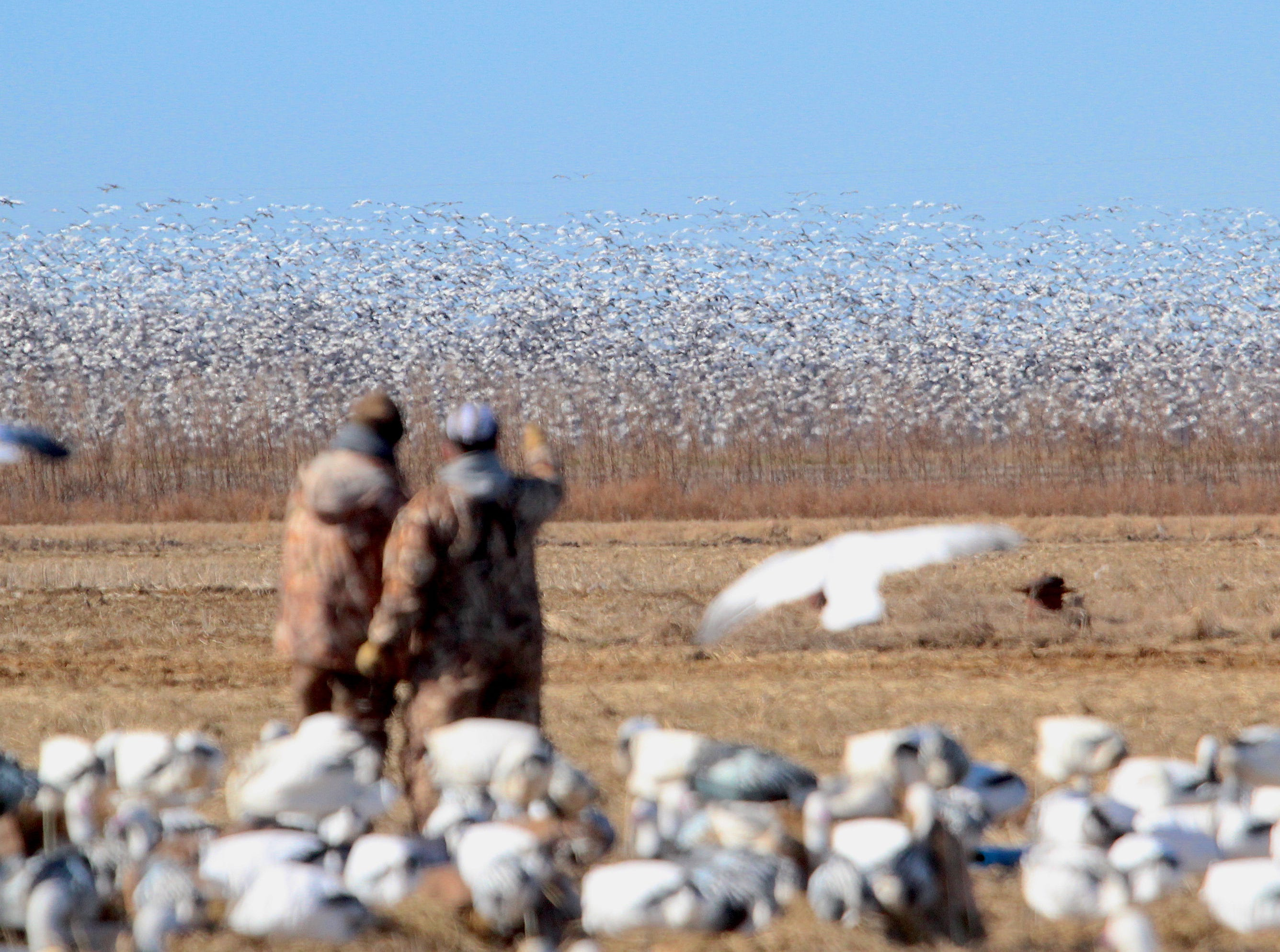 "Hunters watch as a flock of several thousand snow and Ross's geese shifts in an adjacent field. The birds gather in huge ""feeds"" each day in the agricultural fields on northeastern Arkansas. At frequent intervals the wary birds get alarmed and take flight, then often land again in the same field."