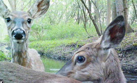 Two deer check out a trail camera along a creek in Brighton.
