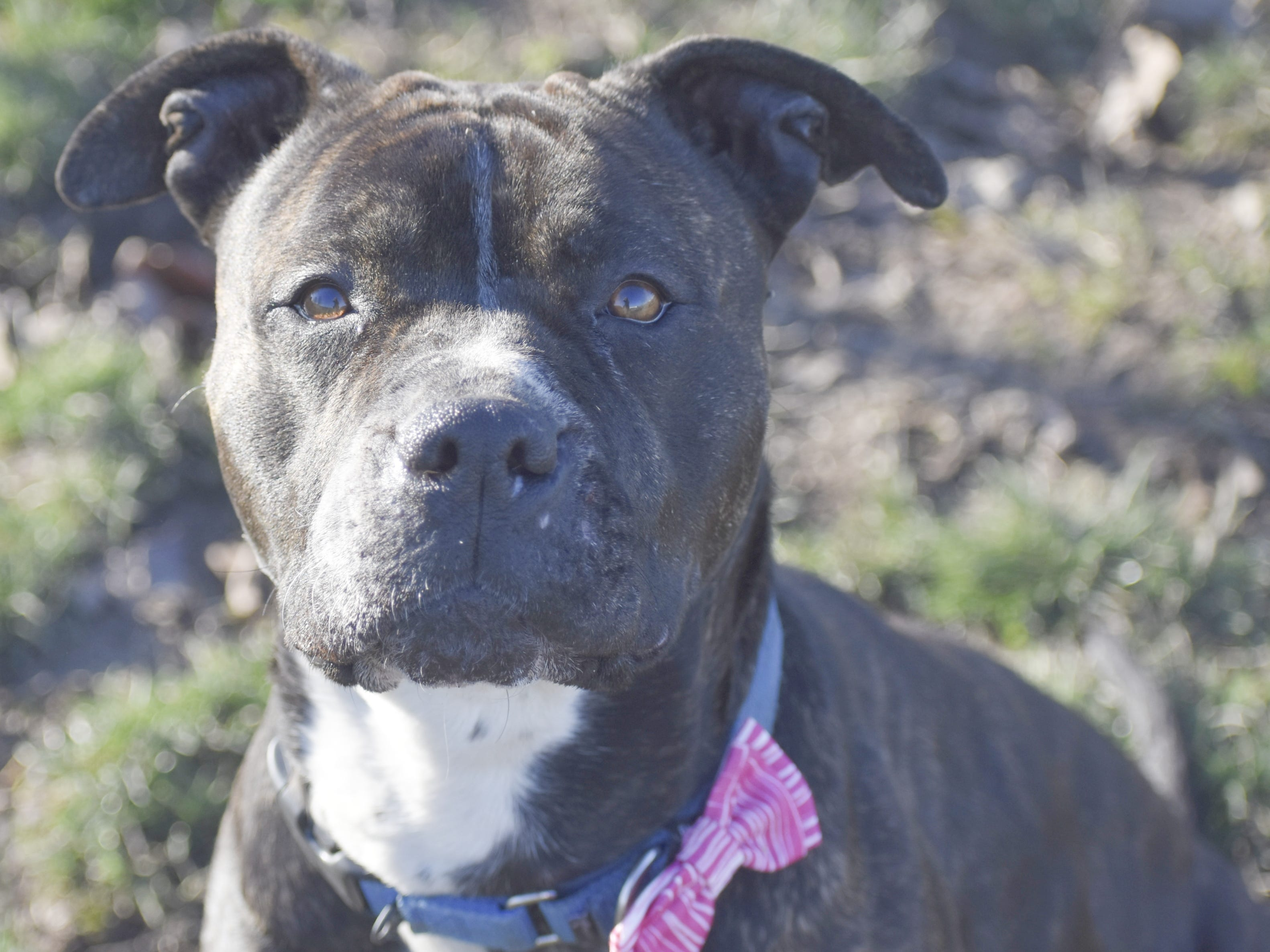 Rain is a 4-year-old female brindle and white American pit bull mix. She likes a good ear scratch, quiet time and plush toys. Rain loves to learn more than sit. Contact Marion County Dog Services at 503-588-5366 or go to www.MCDogs.net.