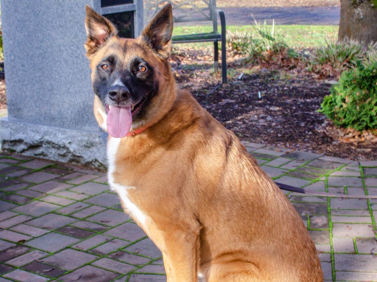 Yogi is a 5-year-old Belgian Malinois mix. She is looking for an active family to call her own. Yogi really enjoys riding in the car. She needs a cat-free home with no young kids, and she will need to meet your dogs if she is joining a canine family. To find out more, call Willamette Humane Society at 503-585-5900 or visit www.whs4pets.org.