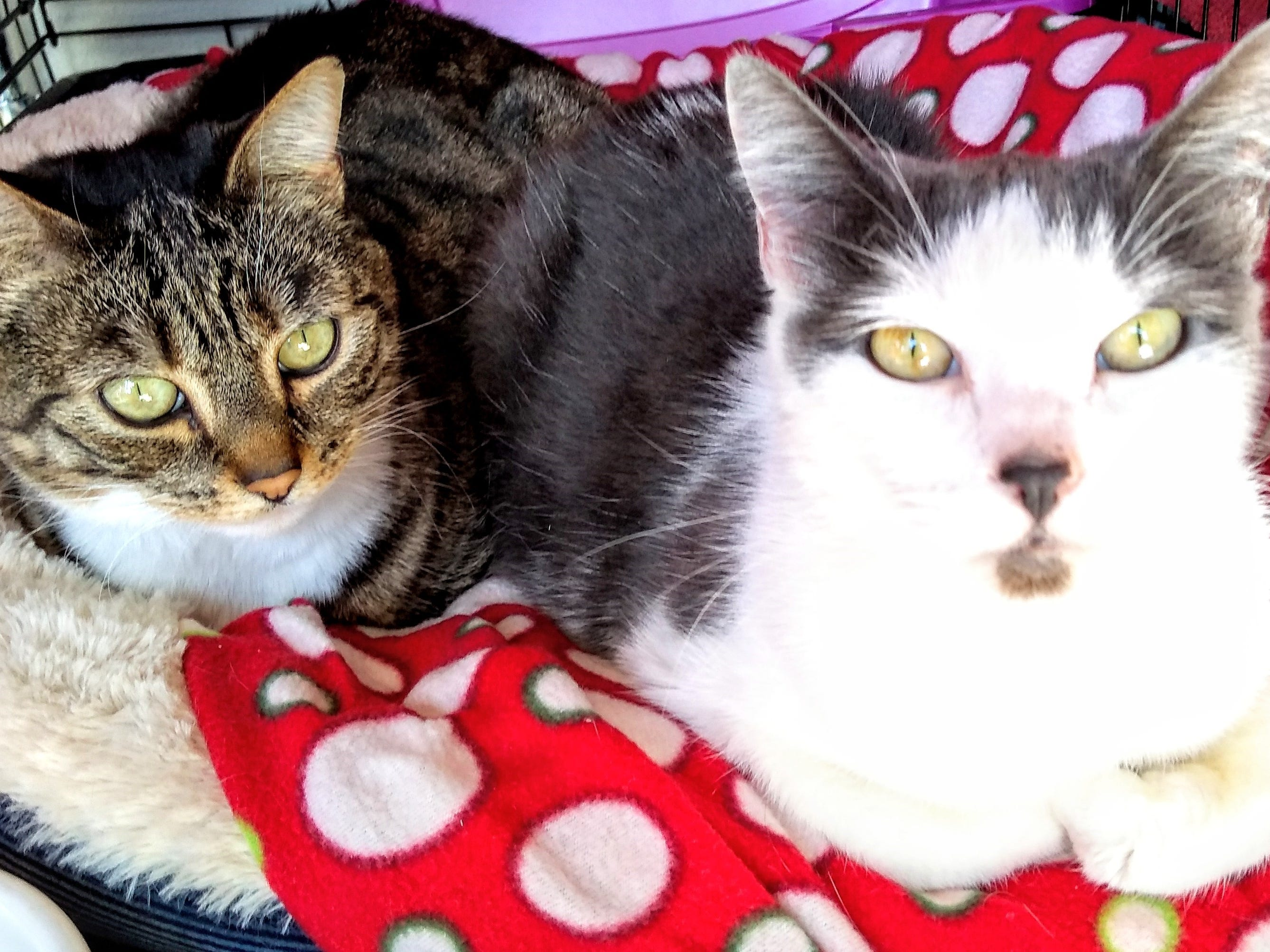 Juliet and Lily are a bonded pair. Juliet is a brown, black and white. Lily is grey and white. Both are 5 years old. Juliet likes to be held and is mellow, friendly and very sweet. Lily is a funny and sweet girl – calm and easy going. For more information, visit www.sfof or call 503-362-5611.