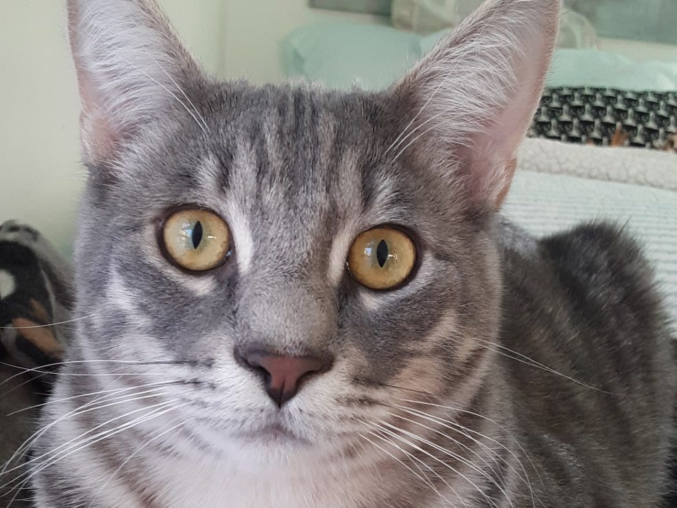 High Jinks is 9 months old and is a quiet and gentle soul. He is shy at first, but will warm up and become very loving if given time to adjust. Jinks enjoys sleeping with his person at night and loves to play. He is bonded with his brother Shenanigans and they must be adopted together. They will do best in a quiet, indoor-only adult home. For more information, visit www.meowvillage.org or call or text Melinda at 503-302-9022.