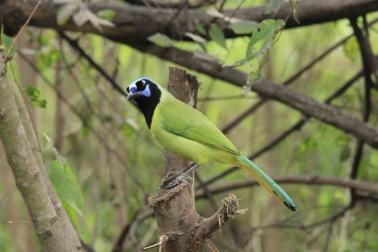Use corn, sunflower seeds and suet to attract brilliantly-colored green jays to your backyard bird feeders.