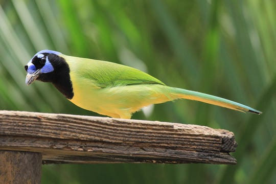 In Texas, green jays can be observed south of an imaginary line drawn from roughly Del Rio to Victoria.