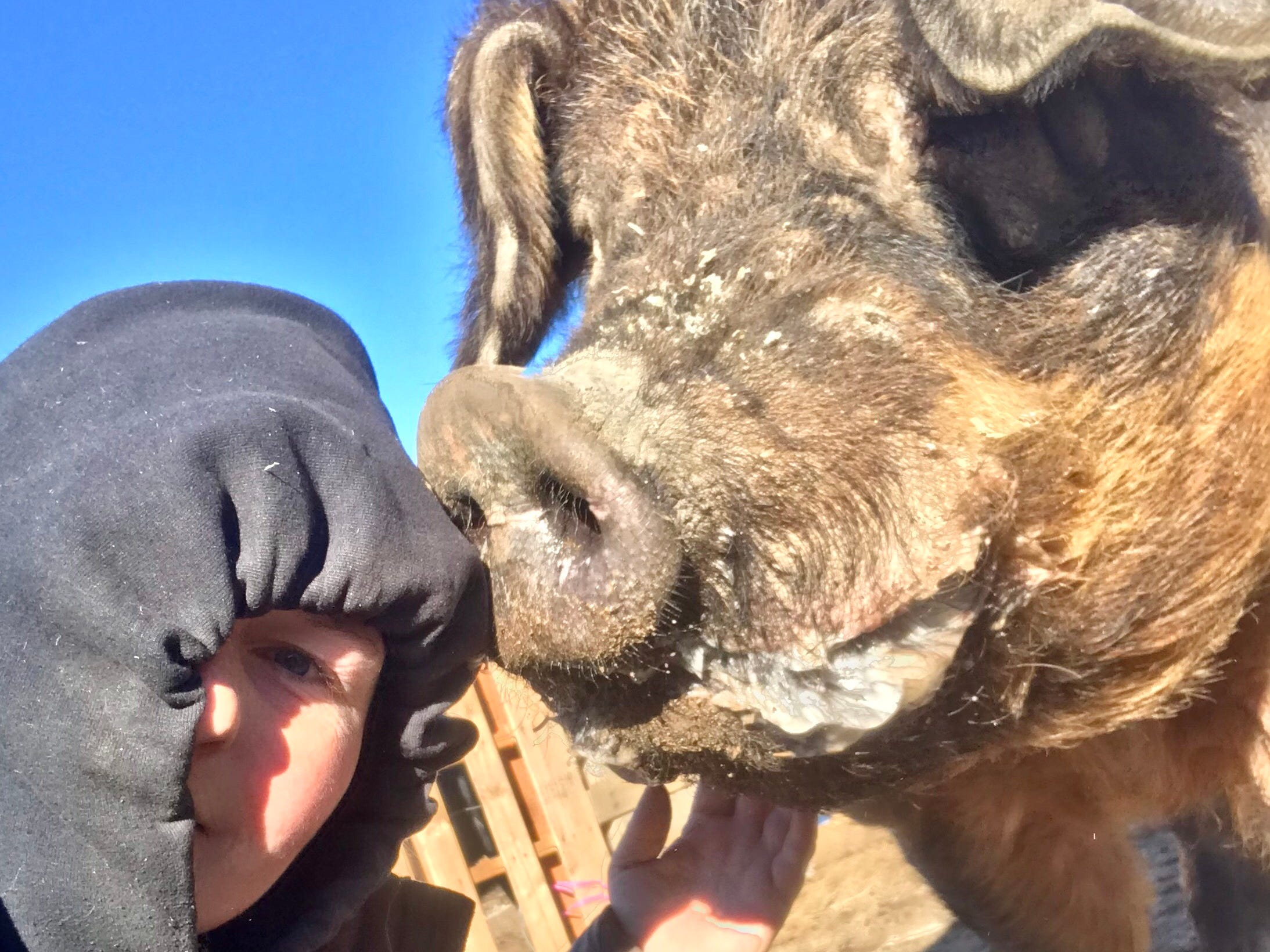 Krystal Tronboll takes a selfie with Halfton, a huge pig who popped up on a Ventura County bike path last month. Tronboll founded a livestock rescue operation in San Diego County where Halfton now lives.