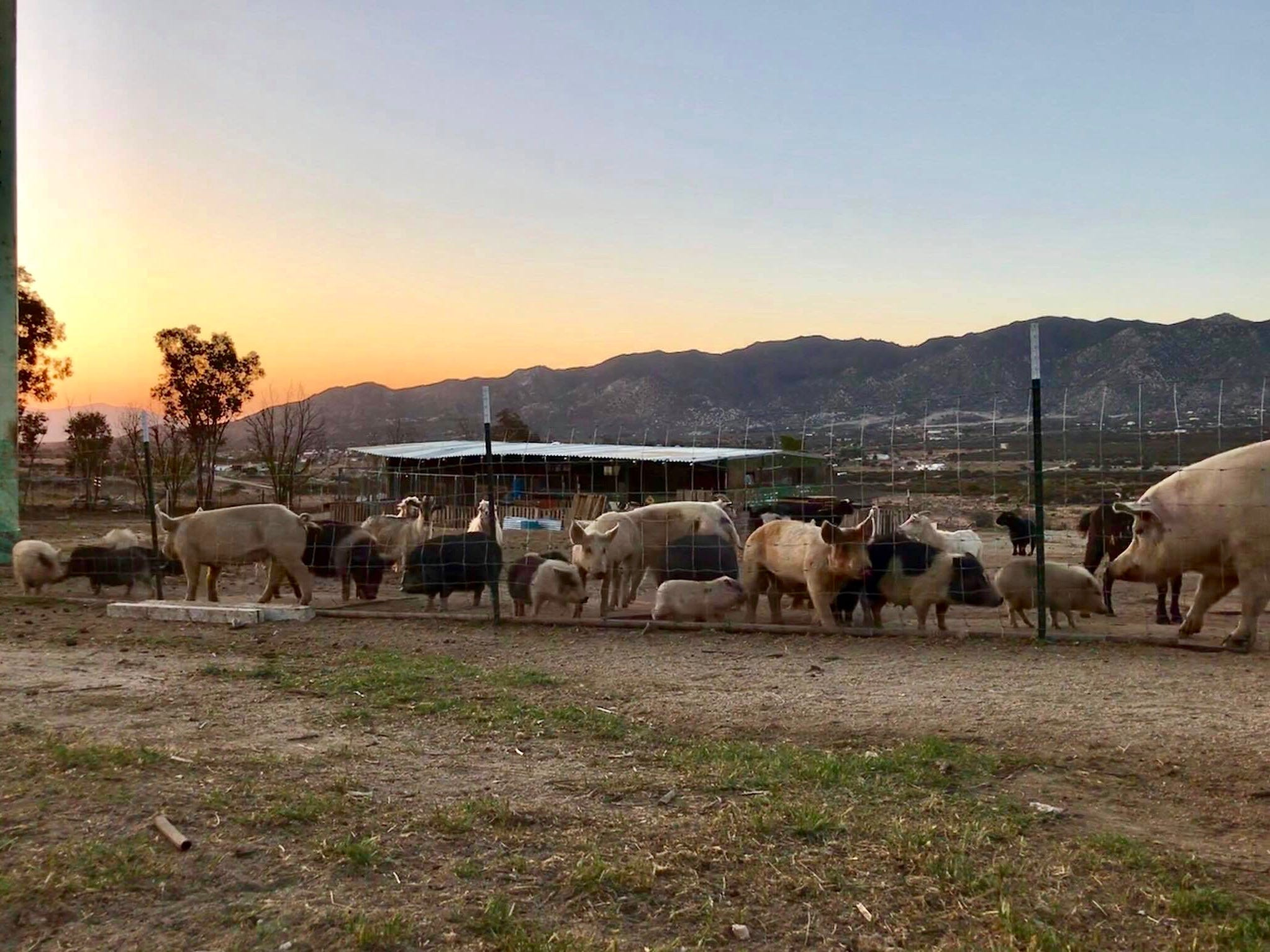 Halfton's future friends: a herd of rescued pigs in the high desert of San Diego County will welcome a giant newcomer captured on a Ventura County bike trail after he gets fixed.