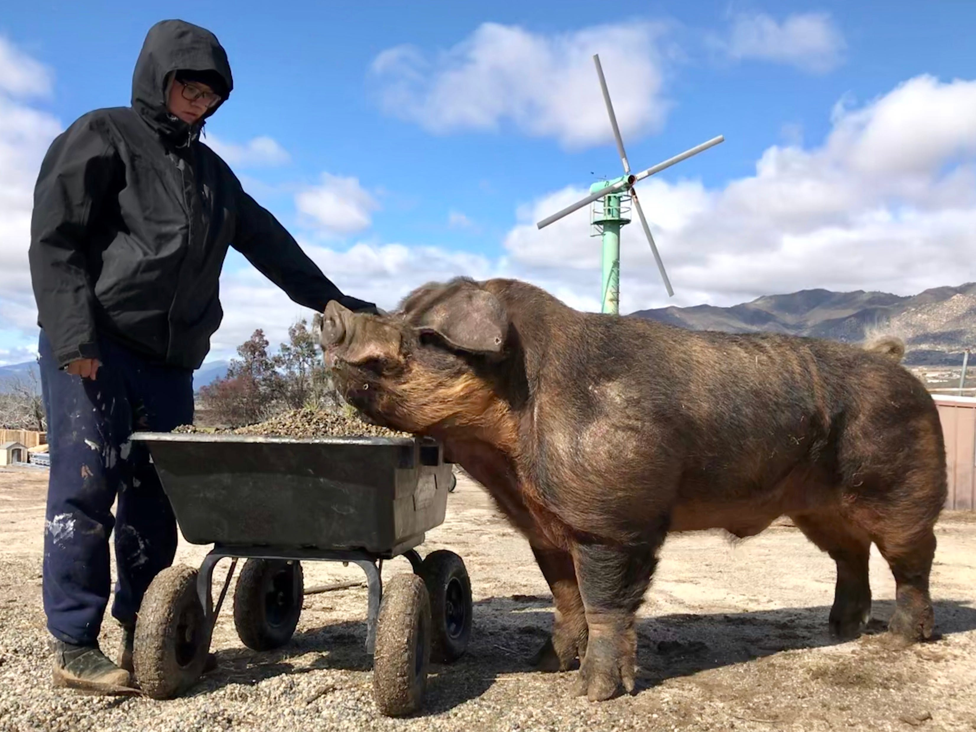 A huge pig that showed up repeatedly on a bike path outside Casitas Springs last month now has a name – Halfton – and a new home in San Diego County. Here, he hangs out with Tierra Tronboll, daughter of the founder of the rescue operation that saved him.