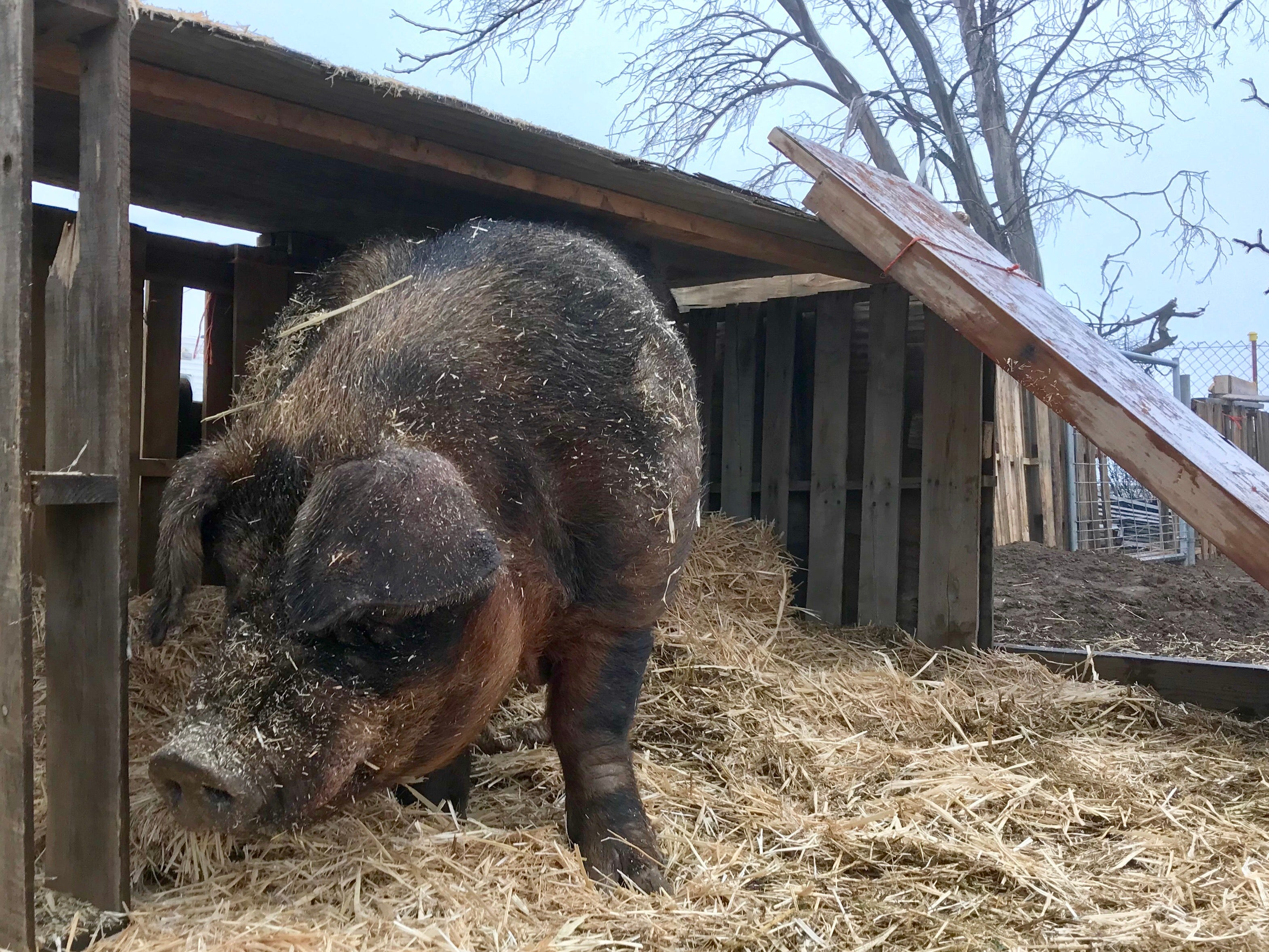 Halfton, a very big pig rescued from a Ventura County bike trail, is shown in his pen in San Diego County. After Halfton is fixed, he'll join enjoy life with an existing herd of rescued farm pigs at Steampunk Farms Rescue Barn.
