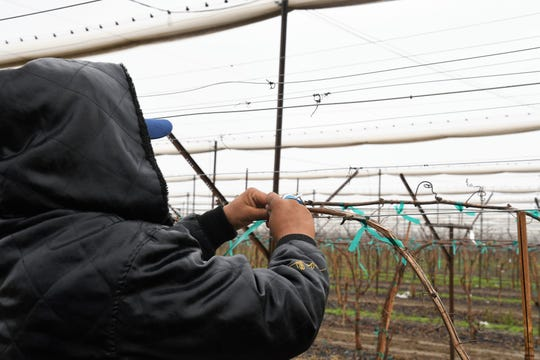 Jonathon ties grape vines at a vineyard outside Delano. An undocumented immigrant, he prefers not to show his face.