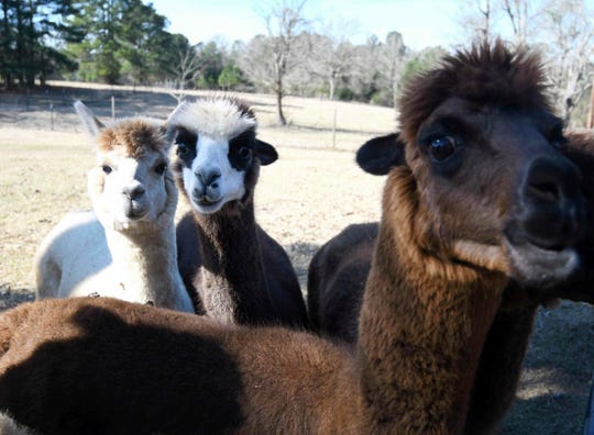 In this Jan. 11, 2019 photo, a family of alpacas look over a fence on a farm in Stringer, Miss. Mary Ann Stroka owns over 30 Alpacas on her farm in Stringer, Mississippi. The farm sheers their Alpacas and uses their wool too make yarn for a variety of clothing. Farm tours are available including a store where you can buy Alpaca products.