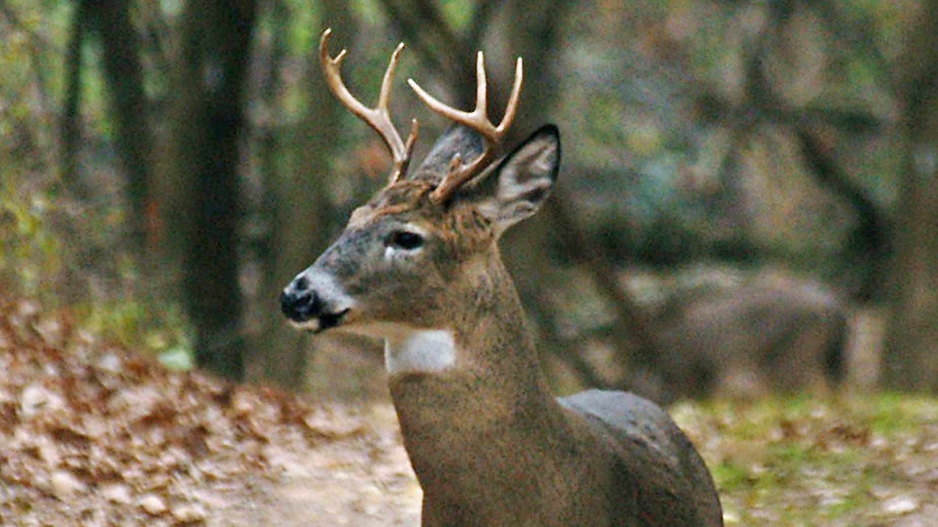 In this Nov. 8, 2005 file photo, a yearling buck is seen in St. Paul, Minn. Some Minnesota state lawmakers want to crack down on deer farms as concern grows about the stubborn persistence of chronic wasting disease among wild deer in a couple pockets of the state.