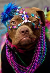 A pit bull puppy named Reecee, dressed-up for the Mardi Gras-themed Fur Ball on Saturday. Reecee is owned by Lazy 3 Animal Care in Cisco, and was also a rescue. Tammy Wald said they used Karo syrup to make the dog's mask.
