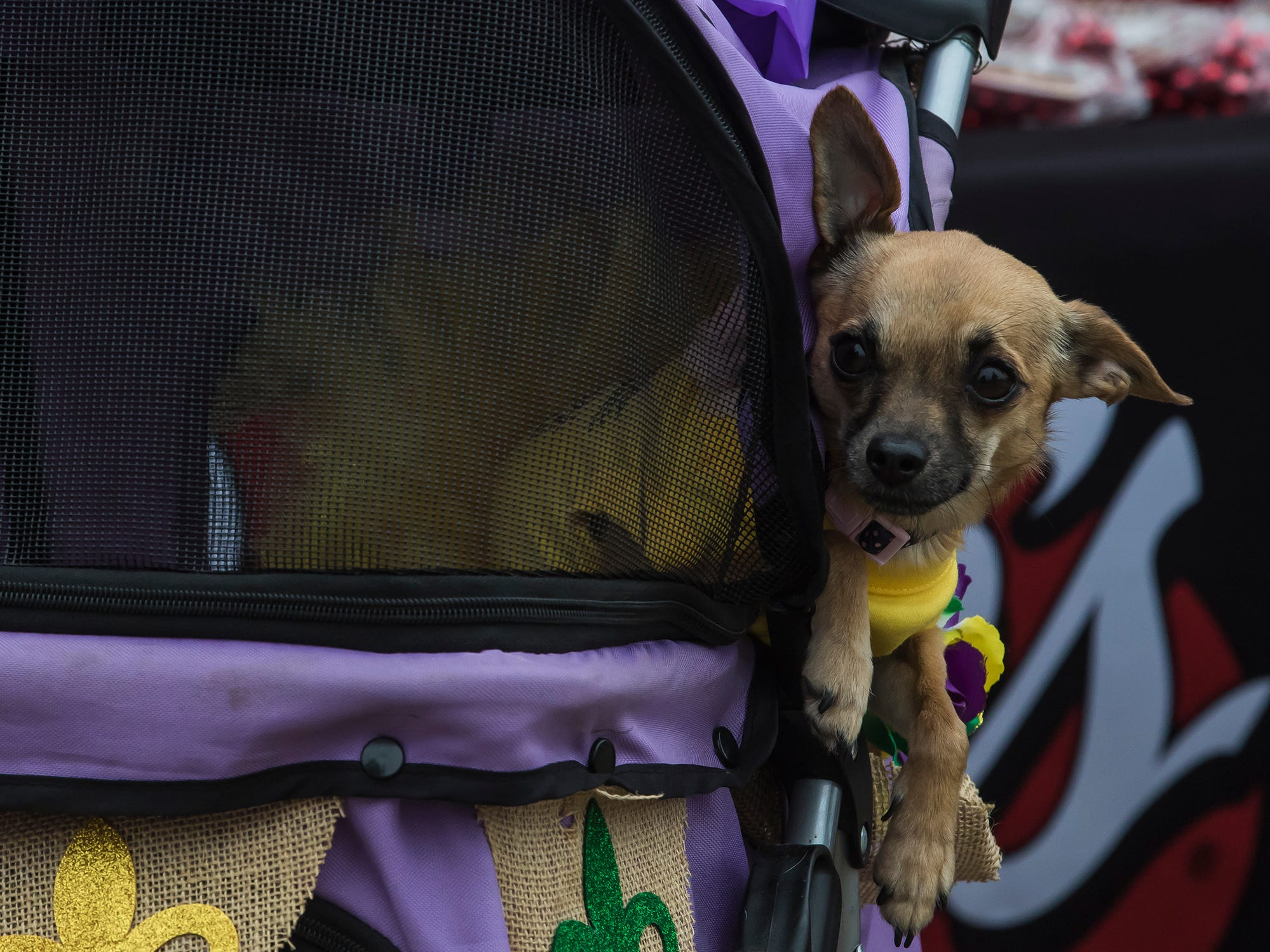 The Krewe of Paws Pet Parade strolled down Antique Alley in West Monroe, La. as part of the Mardi Gras festivities on Feb. 16. The proceeds from the event will go towards PAWS of Northeast Louisiana.