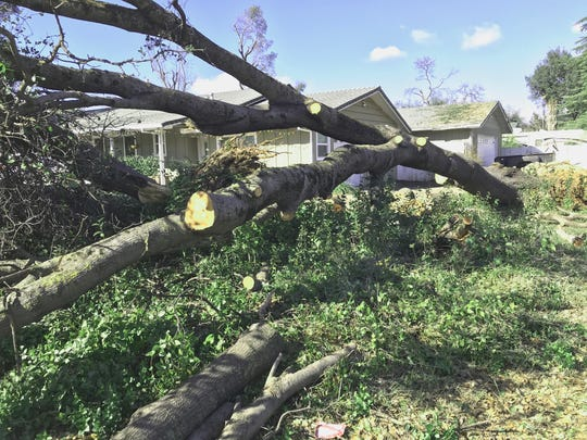 Damage from the storm: Fallen tree on Traverse Street in Redding.