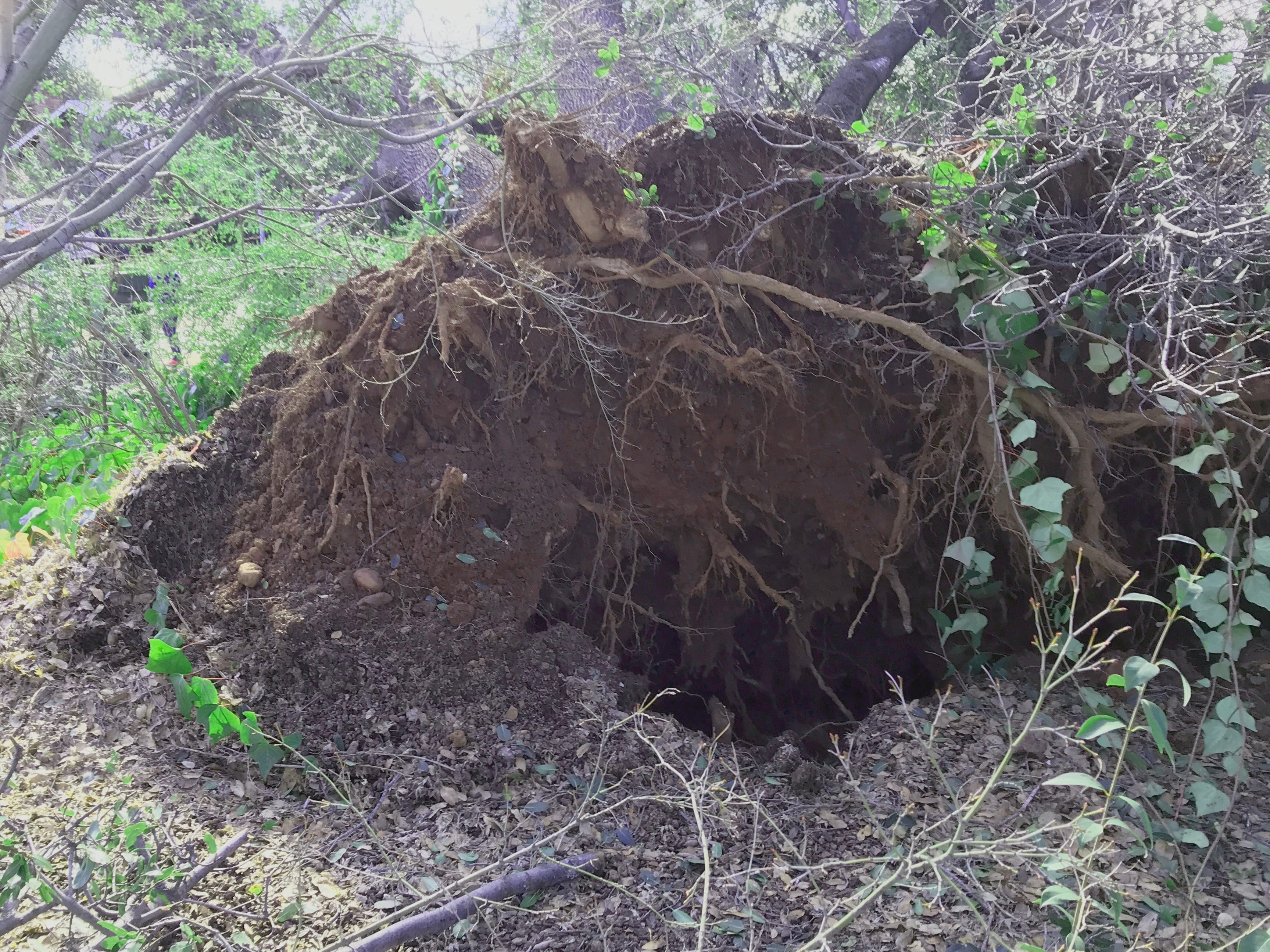 Damage from the storm: An uprooted tree in the front yard of a home on Terrace Street in Redding.
