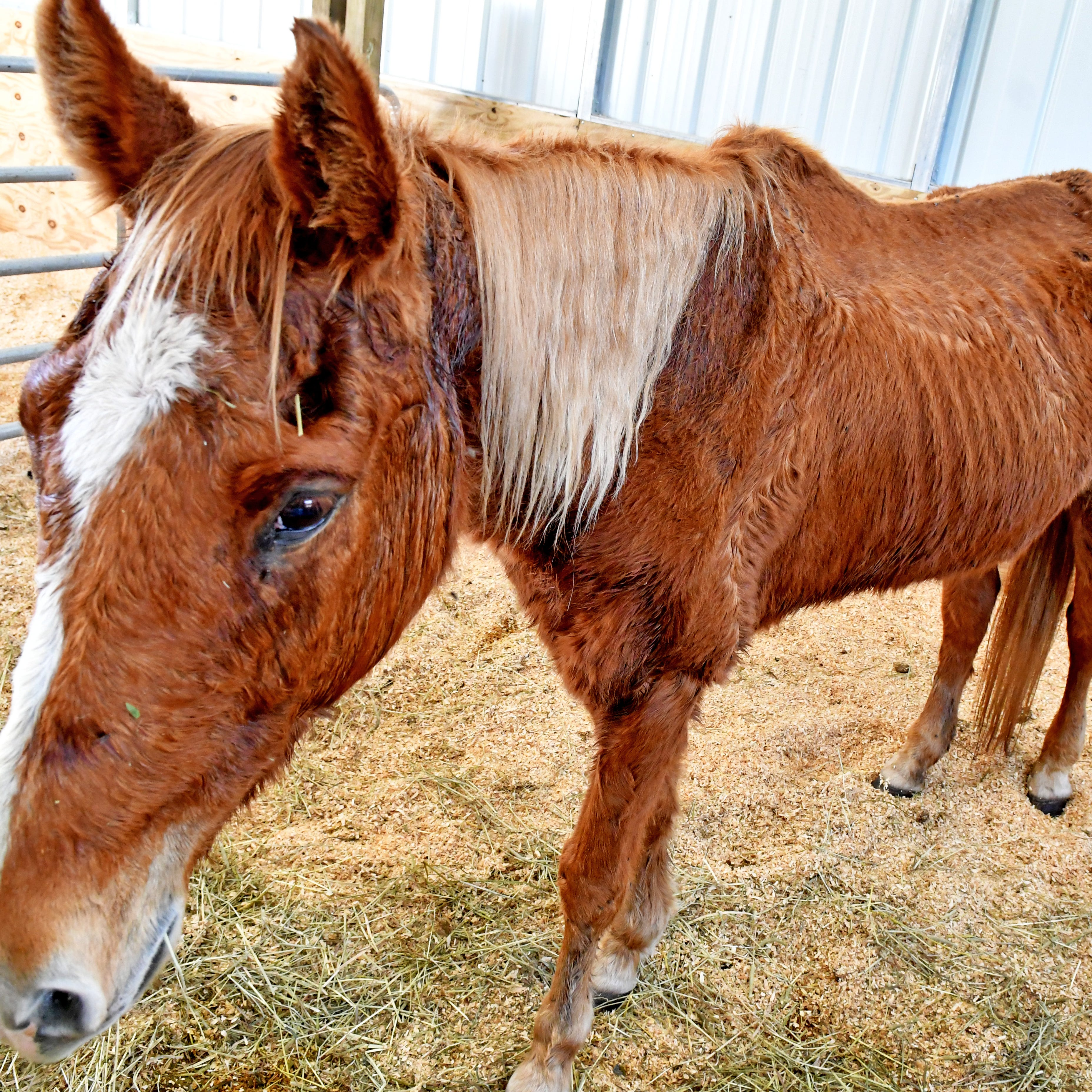 Starving horses seized from Mims 'improving daily,' but fate uncertain, officials say