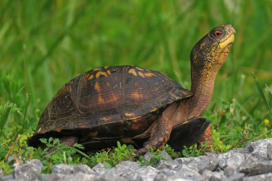 Box turtles, found in the wild in the United States, can command high prices as pets in foreign markets.