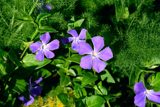 Perennials are more environmentally than annuals because their roots are more deeply entrenched in the ground, so the flowers require less watering.