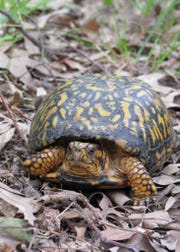A box turtle crawls through leaves at the Forsythe Wildlife National Wildlife Refuge in Oceanville, Atlantic County.