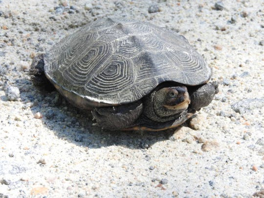 A diamondback terrapin is seen at Bombay Hook National Wildlife Refuge.