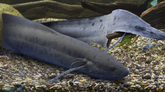 The West African lungfish can walk on four fins and breathe air. It will be part of the new Freshwater Falls exhibit this Spring a the Newport Aquarium.