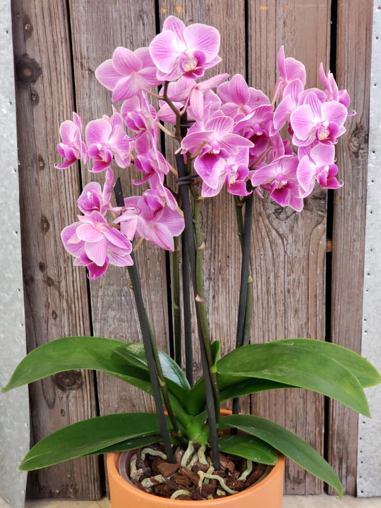 Discover the secrets of orchids at English Gardens.