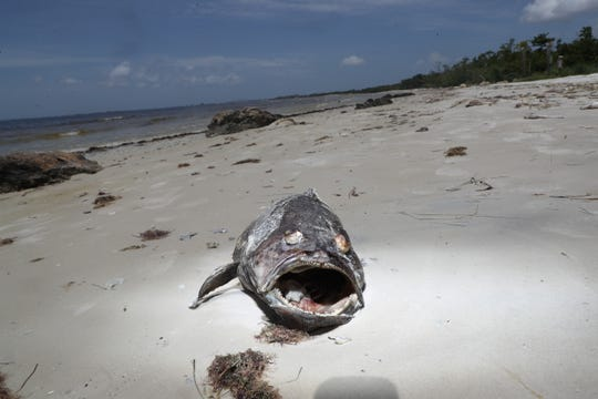 A dead grouper from Bunche Beach on Thursday 9/2/2018. A suspected red tide outbreak is ravaging the marine life in Southwest Florida.