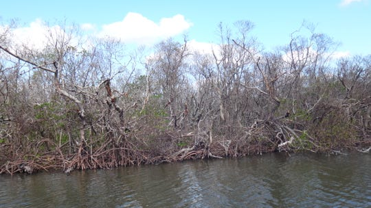 Southwest Florida's mangroves are vulnerable to the effects of climate change and rising sea levels.