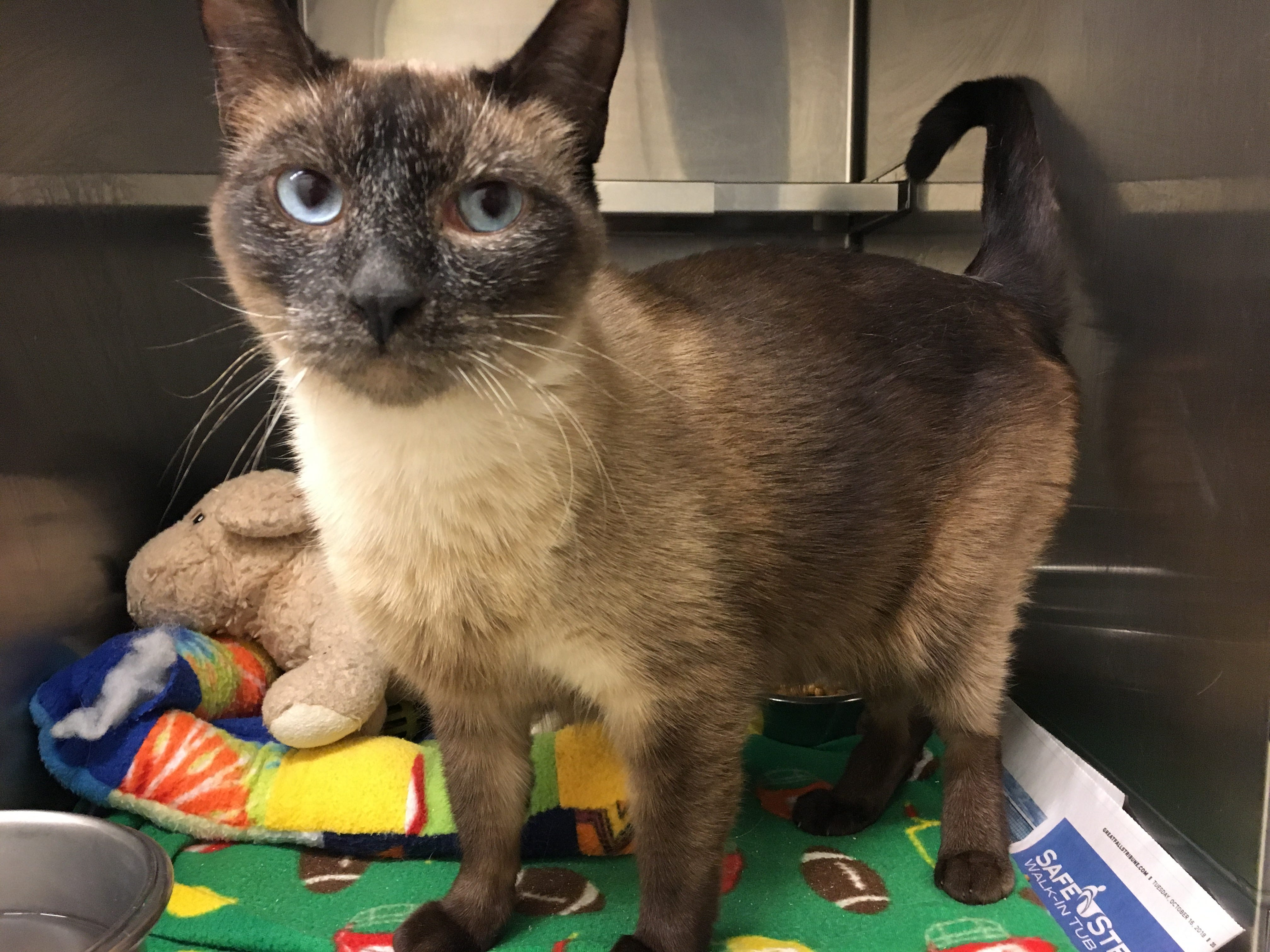 Name: Yoda Intake #: 12763 Neutered Male Siamese/DSH Age: AD Seal Point