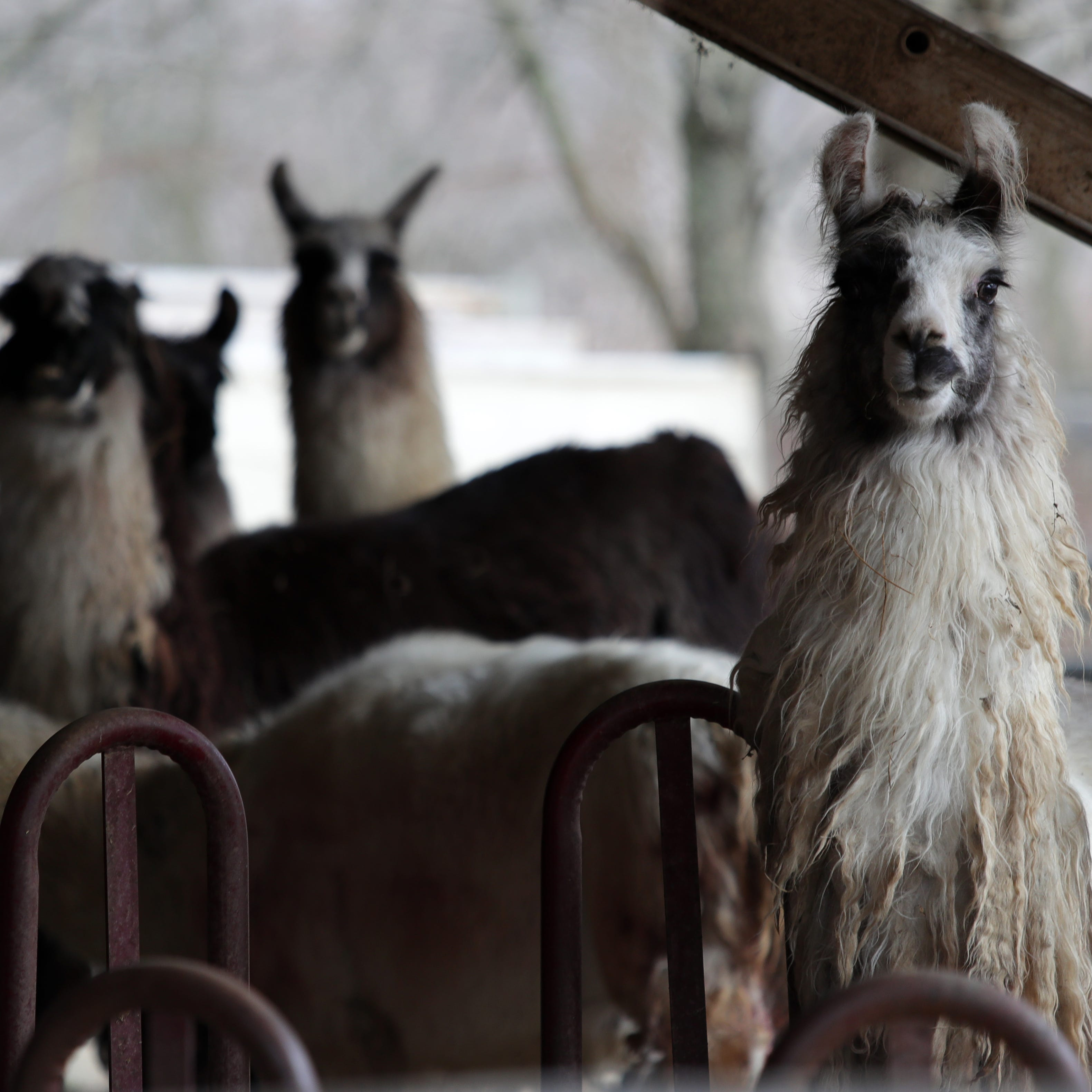 Pack of dogs spotted near site of Louisville llama attack, animal services says
