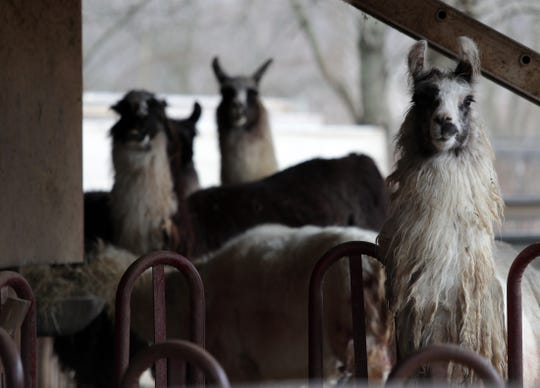 Surviving llamas look out from a barn at the Louisville (Kentucky) Llama Farm on Monday, Feb. 18, 2019. Multiple llamas were attacked and six died. It is unknown what attacked the animals.