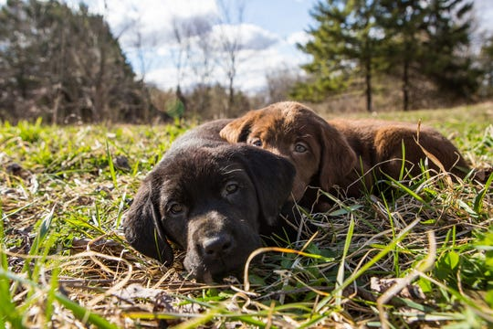 Two Labrador puppies at play at Soggy Acres Retrievers.
