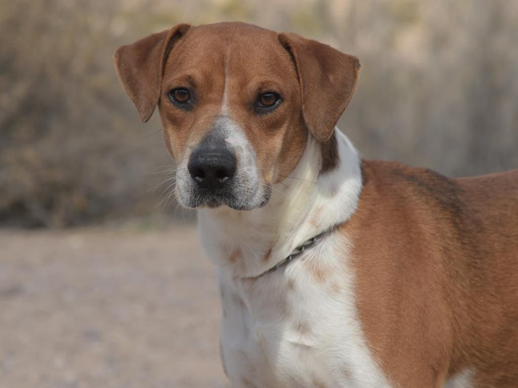 Sylas - Male (neutered) hound mix, about 1 year, 9 months. Intake date: 11/4/2018