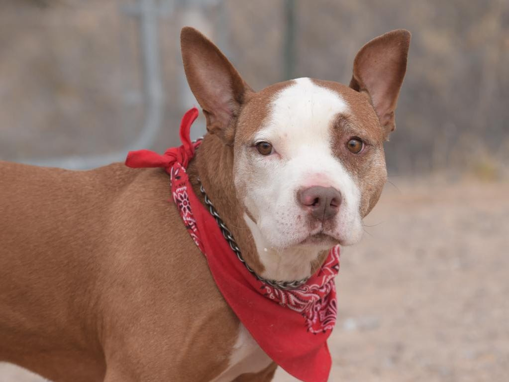 Rocky II - Male (neutered) pitbull mix, about 9 years old. Intake date: 12/18/2018