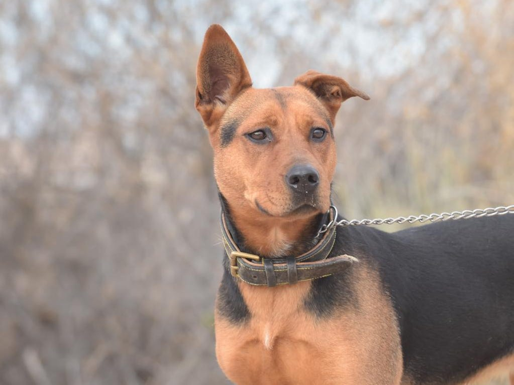 Gypsy - Female (spayed) shepherd mix, about 2 years old. Intake date: 11/26/2018