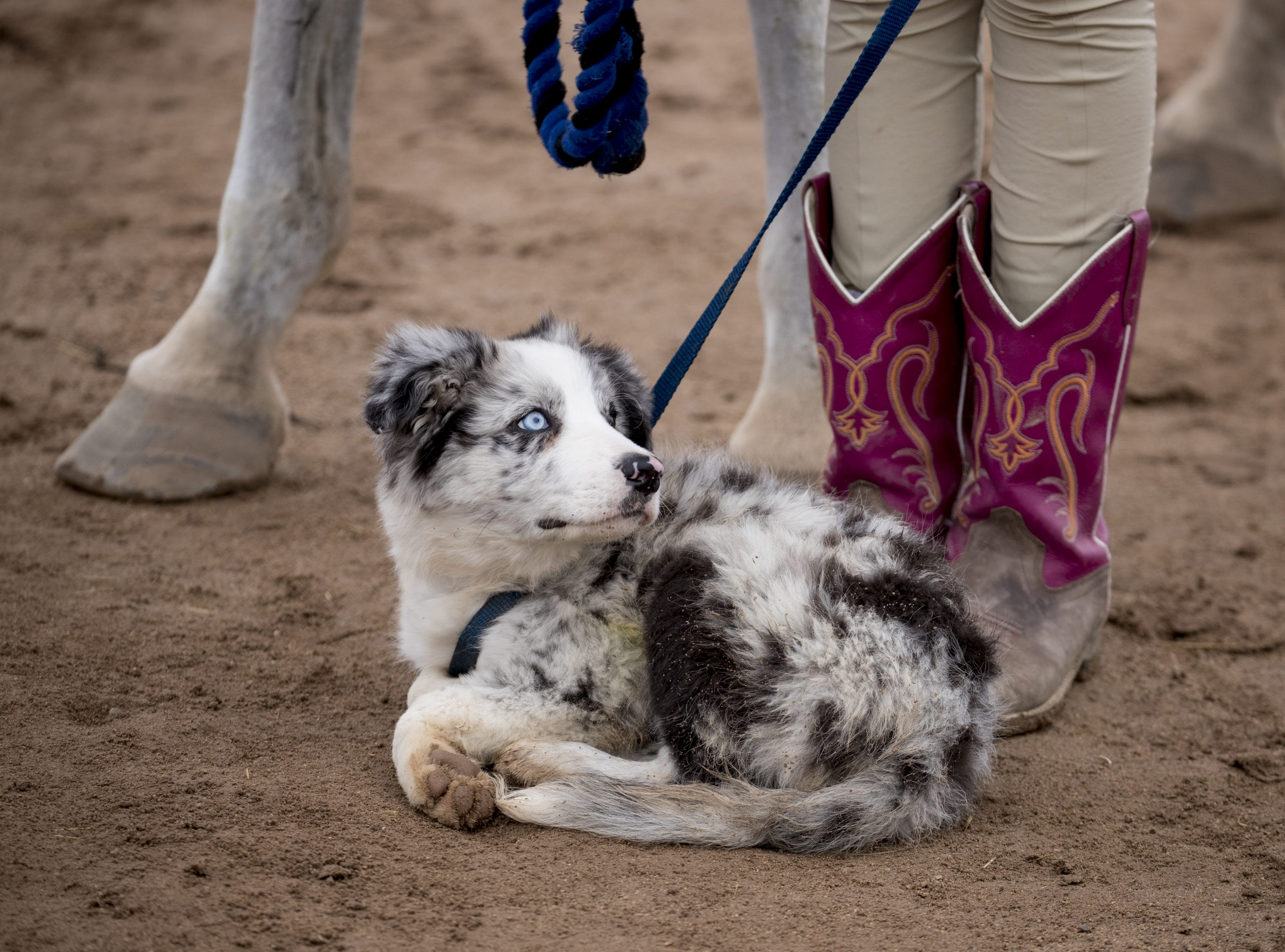 Tig, a 13-week old puppy from Caliber Farms, on Feb. 18, 2019, during the 64th Annual Scottsdale Arabian Horse Show at West World.
