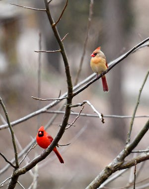 A male cardinal, left, and female cardinal during the Great Backyard Bird Count Drop-In Program at Nixon Park Nature Center in Springfield Township, Sunday, Feb. 17, 2019. Dawn J. Sagert photo