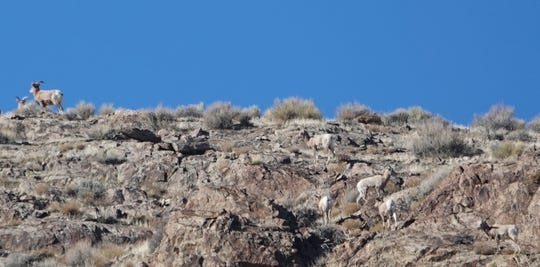 A herd of desert bighorn sheep in the Stillwater Range of Nevada in February, 2019.