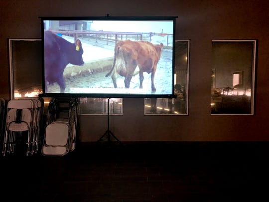 Videos of cows available from the Lost Valley Farms dairy herd is projected in an office area during a preview of an auction near Boardman on Monday, Feb. 18, 2019. The auction will be held on Tuesday for the about 8,000 cows available.