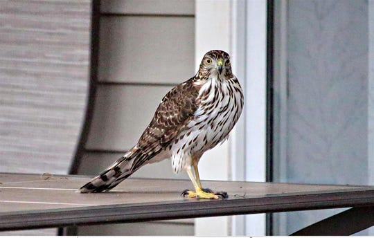 A Cooper's hawk is one of the frequent winter visitors to Delmarva.
