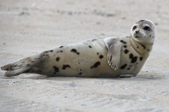 Harp seals are frequent visitors to Delmarva's beaches.