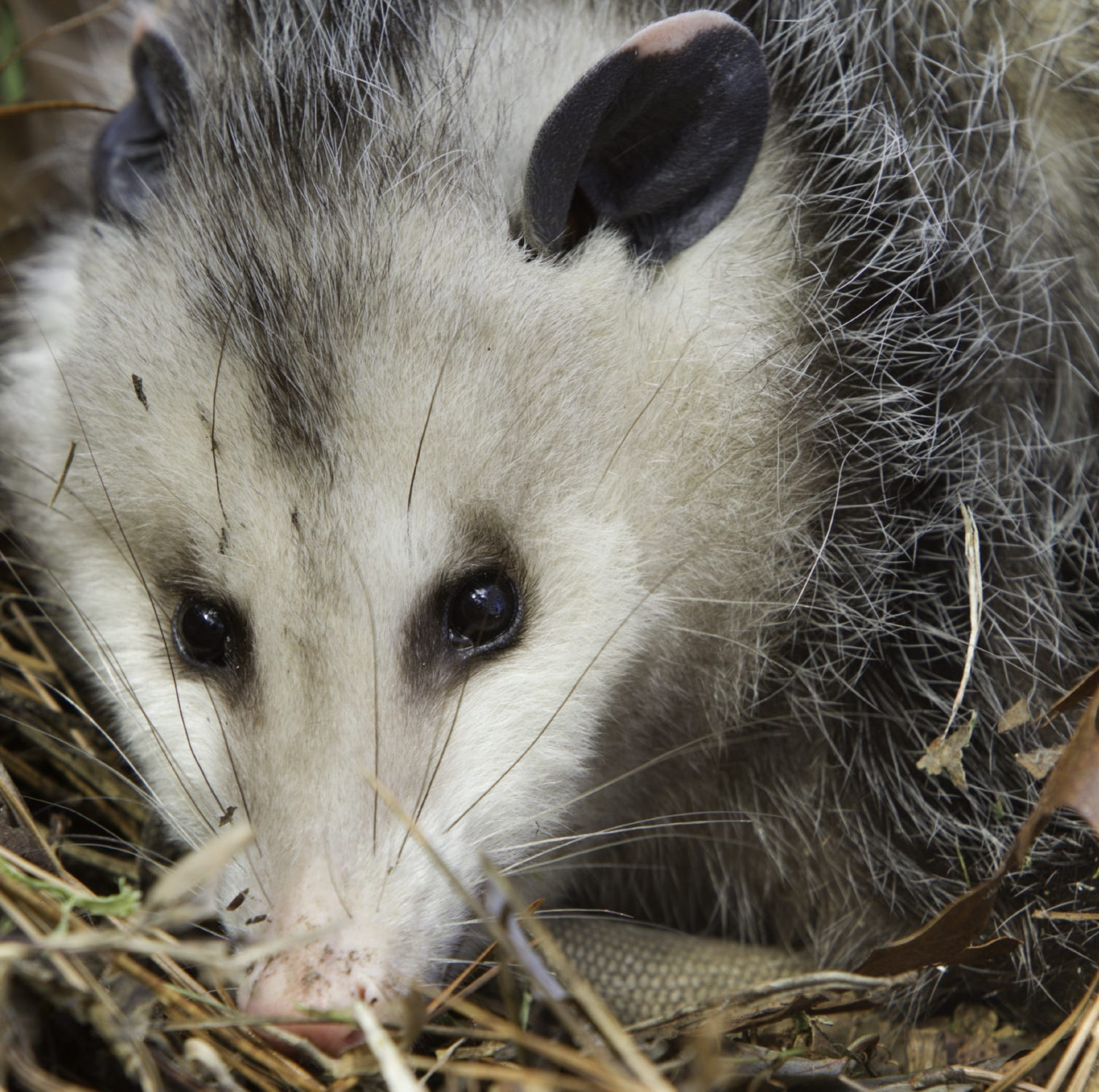Opossums are more intriguing than people realize