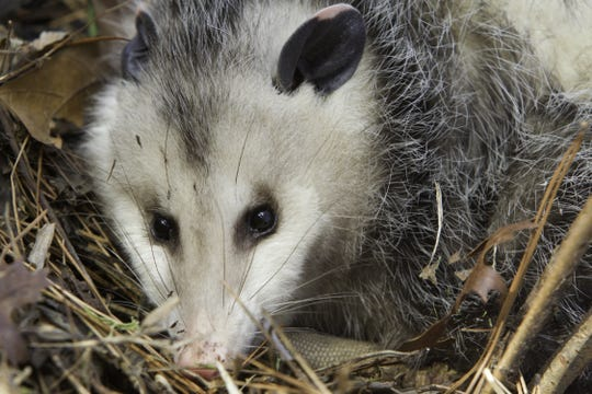 An opossum keeps an eye out for danger.