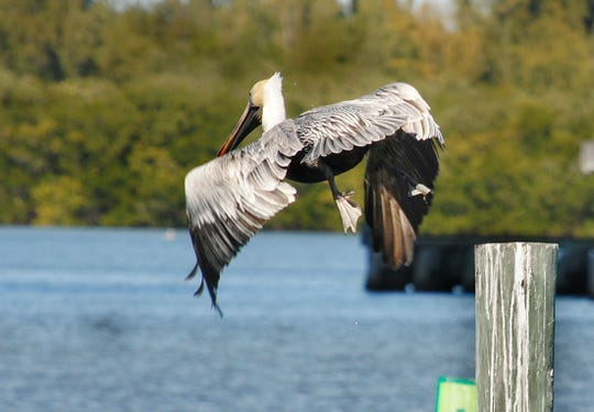 John Sahlman found this pelican flying above the Indian River Lagoon in Vero Beach.